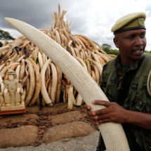 Confiscated Ivory weighing more than 100 tonnes set to be set ablaze tomorrow.