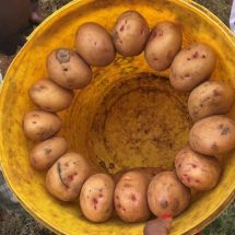 Beware of the kind of potatoes you purchase
